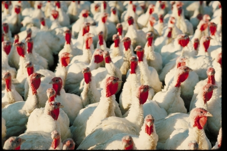 flock of turkey that may soon face culling